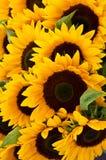 De achtergrond van de zonnebloem Royalty-vrije Stock Fotografie