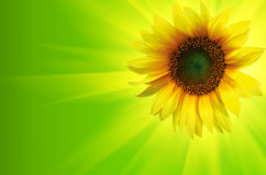 De achtergrond van de zonnebloem stock foto's