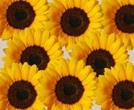 De Achtergrond van de zonnebloem Stock Afbeeldingen