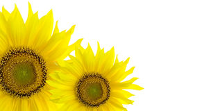 De achtergrond van de zonnebloem met plaats voor uw tekst Royalty-vrije Stock Fotografie