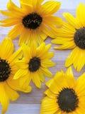 De achtergrond van de zonnebloembloem Royalty-vrije Stock Foto's