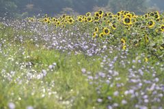 De Achtergrond van de Zonnebloemen van de zomer Stock Foto