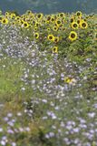 De Achtergrond van de Zonnebloemen van de zomer Stock Afbeelding