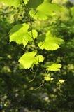 De achtergrond van druivenbladeren Stock Afbeelding