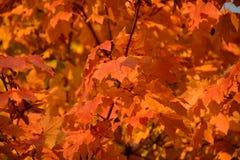 De achtergrond van de esdoornbladeren van de herfst Beeld dat met speciale lens wordt gemaakt Stock Fotografie