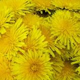 De achtergrond van gele paardebloemen Stock Foto's