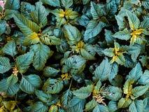 De achtergrond van groene spinaziebladeren royalty-vrije stock foto's