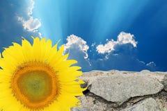 De achtergrond van hemel en steenmuren met een zonnebloem Royalty-vrije Stock Foto
