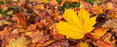 De achtergrond van de herfst met esdoornbladeren Stock Foto