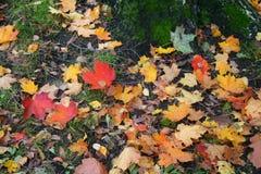 De achtergrond van de herfst Rode en oranje het bladclose-up van de kleurenKlimop Kleurrijke gevallen bladeren stock foto's