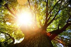 De achtergrond van de de herfstaard; grote oude eiken boom tegen zonlicht stock foto's