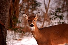 De Achtergrond van hertenfawn face portrait winter snow Stock Fotografie