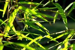 De achtergrond van het bamboeblad groen met waterdaling stock foto