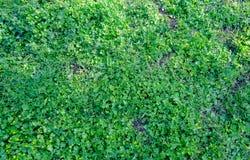 De achtergrond van het gras Stock Afbeeldingen