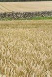 De achtergrond van het het gebiedsplatteland van de tarwe Royalty-vrije Stock Foto