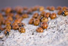 De Achtergrond van het lieveheersbeestje Stock Afbeeldingen