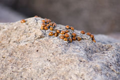 De Achtergrond van het lieveheersbeestje Royalty-vrije Stock Afbeelding