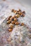 De Achtergrond van het lieveheersbeestje Stock Foto