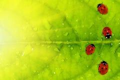 De achtergrond van het lieveheersbeestje Royalty-vrije Stock Afbeeldingen