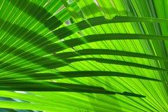 De achtergrond van het palmblad stock afbeelding