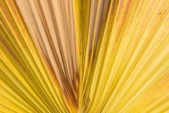 De achtergrond van het suikerpalmblad Royalty-vrije Stock Afbeeldingen