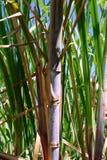 De achtergrond van het suikerriet stock fotografie