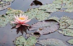De achtergrond van het water lilly Roze water lilly met groene bladeren in het meer De zomerachtergrond Litouwse flora De waterle Stock Foto's