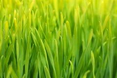 De achtergrond van het Wheatgrassclose-up Stock Foto's
