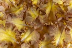 De achtergrond van irisbloemblaadjes stock afbeelding