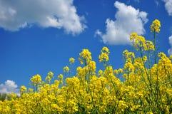 De achtergrond van landbouwcanola Stock Foto