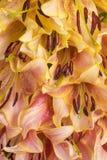 de achtergrond van de leliebloem Royalty-vrije Stock Fotografie