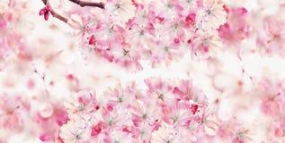 De achtergrond van de de lenteaard met roze bloesem van kersenbomen De lenteaard Sakura het bloeien Banner of malplaatje royalty-vrije stock foto