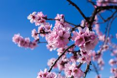 De achtergrond van de de lentebloesem Mooie aardscène met bloeiende boom op zonnige dag enkel Geregend Mooie boomgaard in de Lent stock fotografie