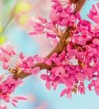 De achtergrond van de de lentebloesem Tot bloei komende boom over aard backgroun Stock Afbeeldingen