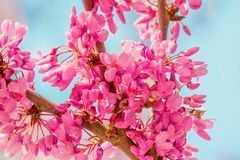 De achtergrond van de de lentebloesem Tot bloei komende boom over aard backgroun Stock Fotografie