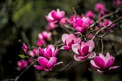 De achtergrond van de lentepasen met mooie roze magnolia stock foto's