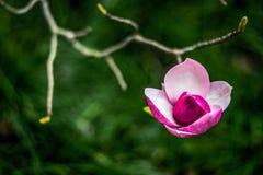 De achtergrond van de lentepasen met mooie roze magnolia stock fotografie