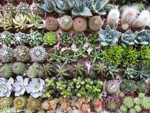 De achtergrond van Nice van verschillende cactus Stock Afbeeldingen
