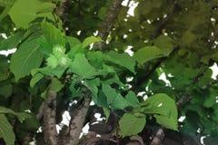 De achtergrond van de okkernoothazelnoot van groene bladeren stock fotografie
