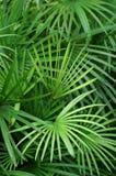 De achtergrond van palmbladen Stock Foto