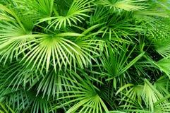 De achtergrond van palmbladen Stock Afbeelding