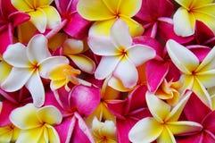De Achtergrond van Plumeria royalty-vrije stock foto