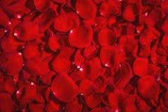 De achtergrond van rode rozen Stock Foto
