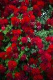 De achtergrond van rozen Stock Foto