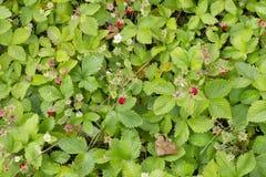 De achtergrond van Strawberry Fields voor altijd Stock Foto
