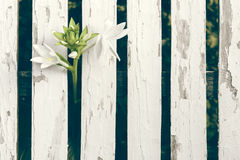 De Achtergrond van tuinlily over white wooden fence Stock Foto