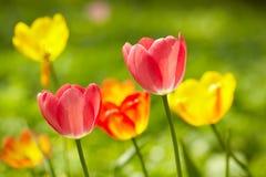 De achtergrond van tulpen Stock Fotografie