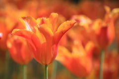 De Achtergrond van tulpen Royalty-vrije Stock Foto