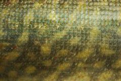 De achtergrond van vissenschalen De achtergrond van schaalsnoeken royalty-vrije stock afbeeldingen