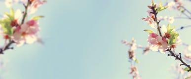 de achtergrond van de websitebanner van van de bloesemsboom van de de lente witte kers Selectieve nadruk stock foto's